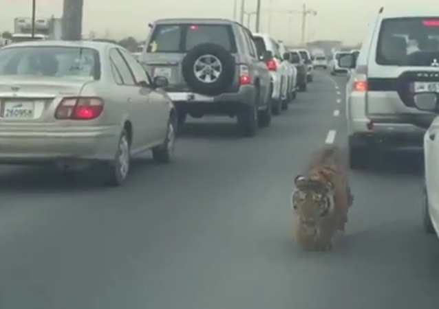 Tiger at Doha Qatar Road