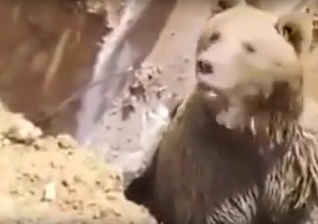 Bear rescued with a jackhammer