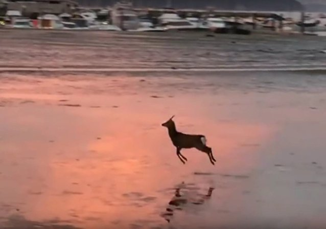 Deer Goes for a Morning Skip Across a Beach