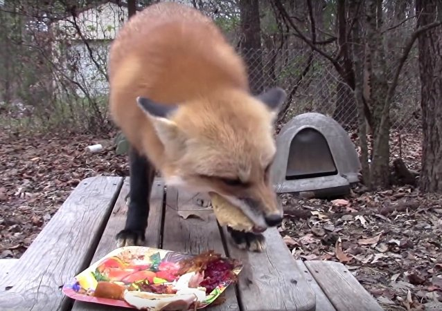 Fox Devours Thanksgiving Feast